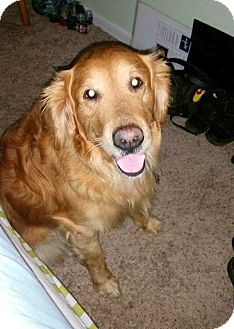 Golden Retriever Dog for adoption in New Canaan, Connecticut - Vader