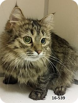 Domestic Longhair Cat for adoption in Cannelton, Indiana - Katniss