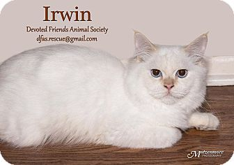 Himalayan Cat for adoption in Ortonville, Michigan - Irwin