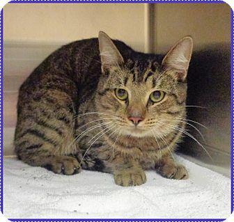 Domestic Shorthair Cat for adoption in Marietta, Georgia - TOTO