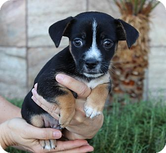 Dachshund/Chihuahua Mix Puppy for adoption in Las Vegas, Nevada - OESTE