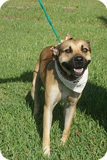 Shepherd (Unknown Type)/Boxer Mix Dog for adoption in Wytheville, Virginia - Nik