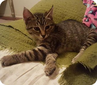 Domestic Shorthair Kitten for adoption in Chico, California - ANGELO
