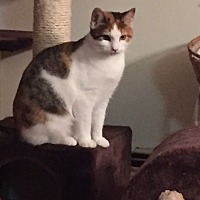 Domestic Shorthair Cat for adoption in Islip, New York - Kendra