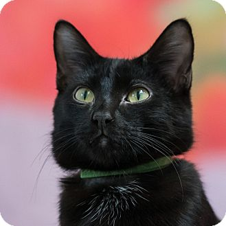 Domestic Shorthair Cat for adoption in Houston, Texas - El Diablo