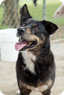 Australian Shepherd/Shepherd (Unknown Type) Mix Dog for adoption in Key Biscayne, Florida - Lucy