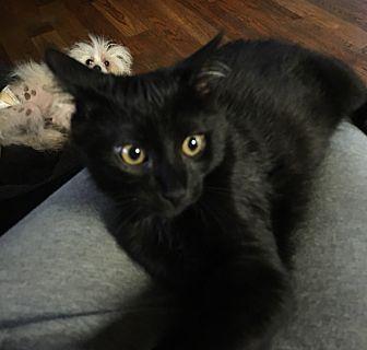 Domestic Mediumhair Kitten for adoption in Bridgeton, Missouri - Black Jack-Fostered in KC