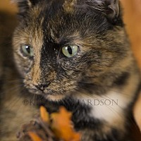 Adopt A Pet :: Juda the Majestic Tortie - Oviedo, FL