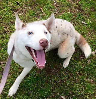Husky/Australian Shepherd Mix Dog for adoption in Powder Springs, Georgia - ZINI/ZEKE