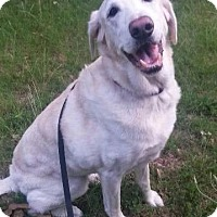 Labrador Retriever Dog for adoption in Little Rock, Arkansas - Gus