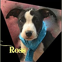 Hound (Unknown Type)/Pit Bull Terrier Mix Puppy for adoption in Jefferson, Georgia - Ross