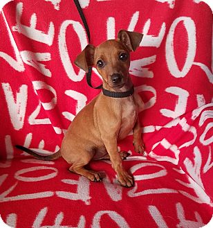 Chihuahua Mix Puppy for adoption in Jersey City, New Jersey - Cobalt