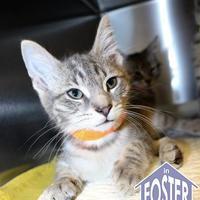 Adopt A Pet :: Bennet - Ann Arbor, MI