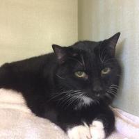 Domestic Mediumhair Cat for adoption in Camarillo, California - *PHOEBE