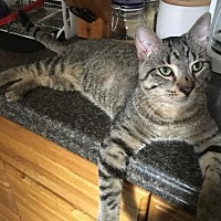 Domestic Shorthair Cat for adoption in Philadelphia, Pennsylvania - Beekeeper Phil