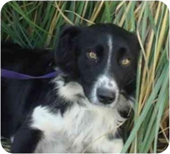 Border Collie Mix Dog for adoption in Brenham, Texas - Precious