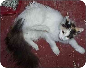 Norwegian Forest Cat Cat for adoption in Randolph, New Jersey - Princess