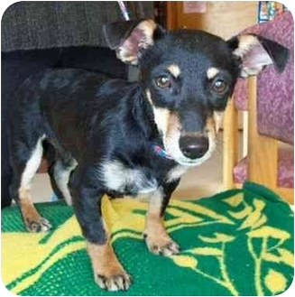 Dachshund Mix Puppy for adoption in North Judson, Indiana - Ridgie