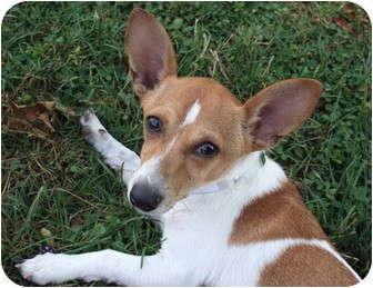 Chihuahua/Dachshund Mix Dog for adoption in Salamanca, New York - Yankee