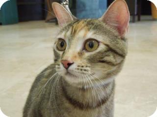 Manx Cat for adoption in Edmond, Oklahoma - Sunshine