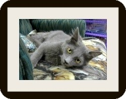 Domestic Mediumhair Kitten for adoption in Hamburg, New York - Blake