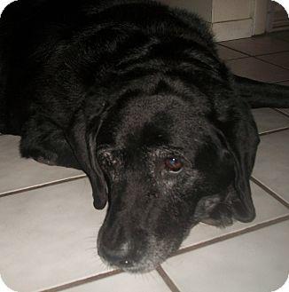 Labrador Retriever Dog for adoption in Holmes Beach, Florida - Dakota