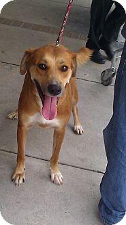 Labrador Retriever/German Shepherd Dog Mix Dog for adoption in Miami, Florida - Champ