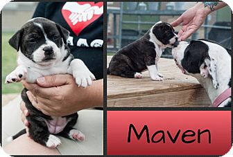 Pit Bull Terrier Mix Puppy for adoption in Corpus Christi, Texas - Maven