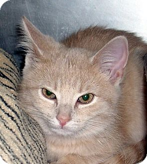Domestic Shorthair Kitten for adoption in Albion, New York - Peaches