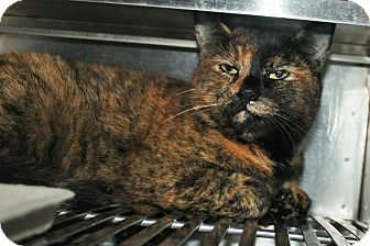 Domestic Shorthair Cat for adoption in Grass Valley, California - Idris