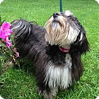 Adopt A Pet :: Kenize - batlett, IL