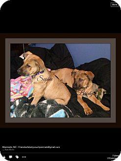German Shepherd Dog Mix Puppy for adoption in Albemarle, North Carolina - Sophie