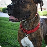 Adopt A Pet :: Merica - Broomfield, CO