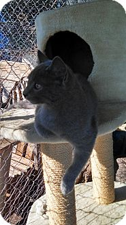 Russian Blue Kitten for adoption in Justin, Texas - Baby Russian Blue