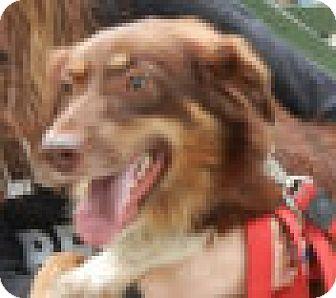Australian Shepherd Dog for adoption in Antioch, Illinois - Garmin