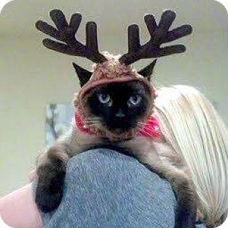 Siamese Cat for adoption in HILLSBORO, Oregon - Monkey - Community Cat - Senior Guy Needs You!!