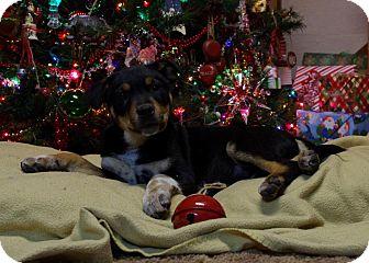 Australian Cattle Dog Mix Puppy for adoption in Staunton, Virginia - Nash
