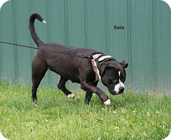 English Bulldog/American Pit Bull Terrier Mix Dog for adoption in Hibbing, Minnesota - Bella