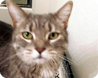 Domestic Shorthair Cat for adoption in Las Vegas, Nevada - Kia Sophia