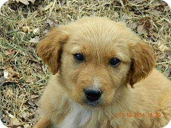 Golden Retriever/Irish Setter Mix Puppy for adoption in Point Pleasant, Pennsylvania - GINGER-PENDING