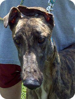 Greyhound Dog for adoption in Randleman, North Carolina - Bus