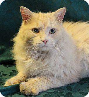 Maine Coon Cat for adoption in Greensboro, North Carolina - Fergus