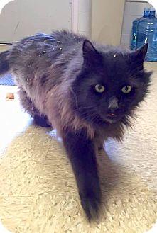 Domestic Longhair Cat for adoption in Ledyard, Connecticut - Sammy