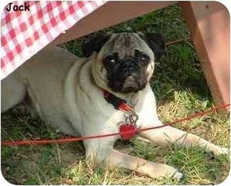 Pug Dog for adoption in Dayton, Ohio - Jack