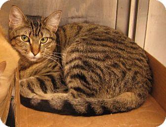 Domestic Shorthair Cat for adoption in Stillwater, Oklahoma - Bambi
