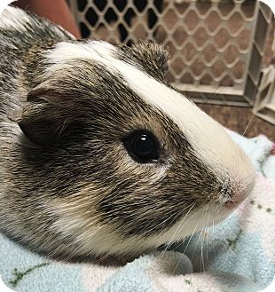 Guinea Pig for adoption in Edinburg, Pennsylvania - Bam Bam