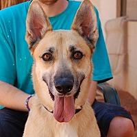 German Shepherd Dog/Belgian Shepherd Mix Dog for adoption in Las Vegas, Nevada - Bruno