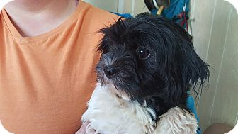 Shih Tzu/Poodle (Toy or Tea Cup) Mix Dog for adoption in Antioch, Illinois - DOPTION PENDING!!