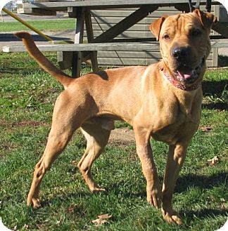 Shar Pei Mix Dog for adoption in New Kensington, Pennsylvania - Chewy