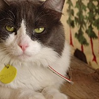 Domestic Longhair Cat for adoption in Tucson, Arizona - Zima